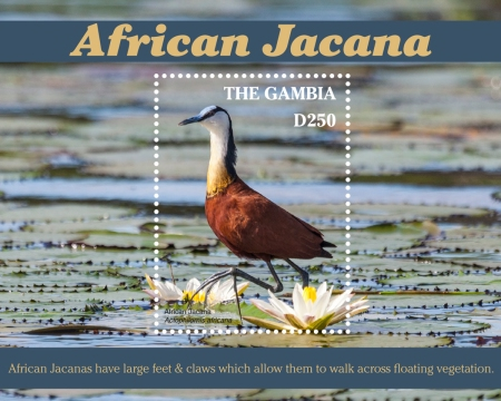[Birds - African Jacana, type ]