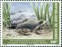 [Mount Nimba Viviparous Toad, Typ BCZ]