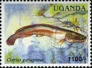 [Fish of Lake Victoria, Typ CNG]