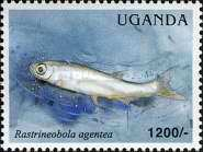 [Fish of Lake Victoria, Typ CNH]