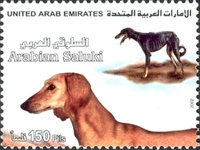 [Persian Greyhounds - Saluki, type YZ]